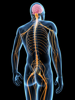 Spinal nerves innervate every cell