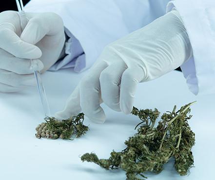 Cannabis: o que pode e o que não pode na nova regulamentação?