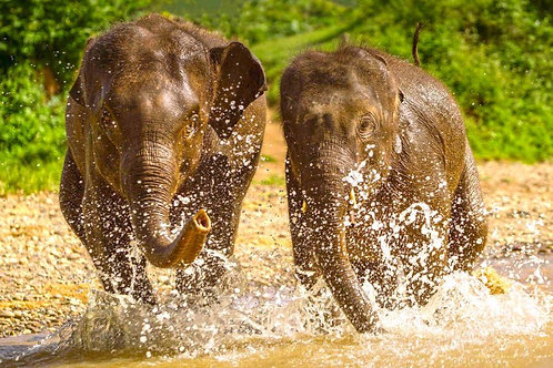 4A. ADULT/ADULTE - ETHICAL ELEPHANT SANCTUARY