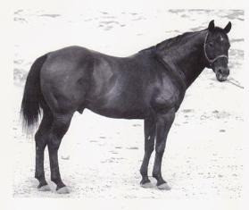 "Der Foundation Quarter Horse Sire ""KING"