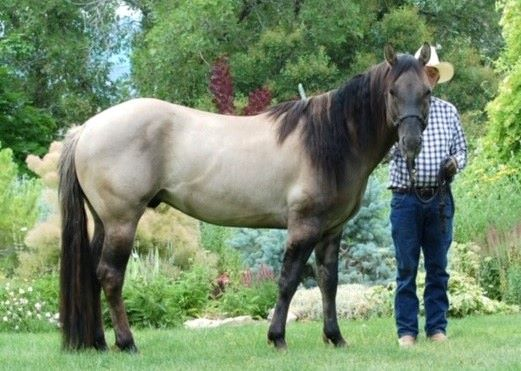 100% NFQHA- Foundation Quarter Horse Hengst