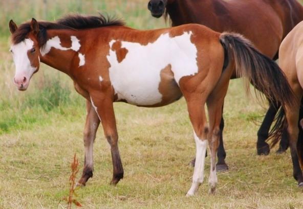 Overo- Jährlings Paint Horse Stute