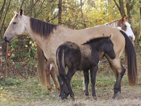 Die Foundation Quarter Horse Zuchtstrategie der Absarokee Horse Farm