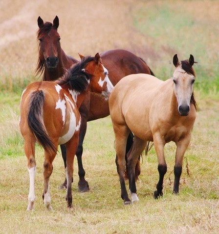 Jungstuten der Absarokee Horse Farm