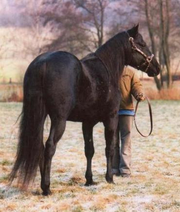 NFQHA- Foundation Quarter Horse Hengst