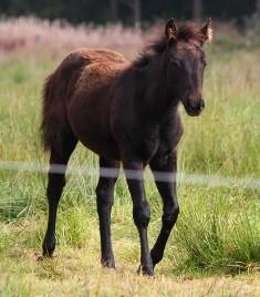 NFQHA- Foundation Quarter Horse Stutfohlen aus der NG Jeanies Miss Jane von Sis Bueno Sammy Joe