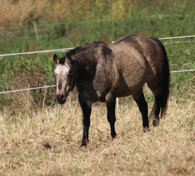 Unser Quarter Horse Hengst