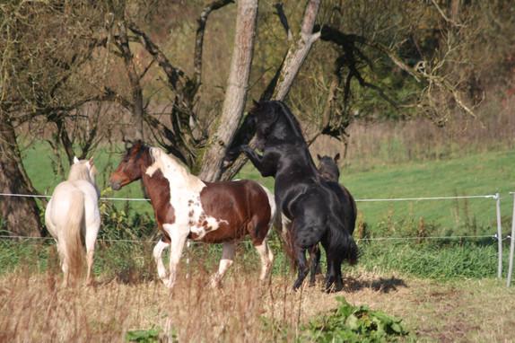 Die Zuchthengste der Absarokee Horse Farm