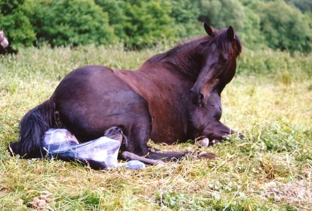 Geburt eines NFQHA Quarter Horse FohlenFohlen