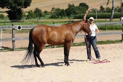 Die Nachzucht der Absarokee Horse Farm