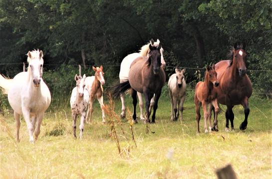 Einige Zuchtstuten mit Fohlen bei Fuß der Absarokee Horse Farm