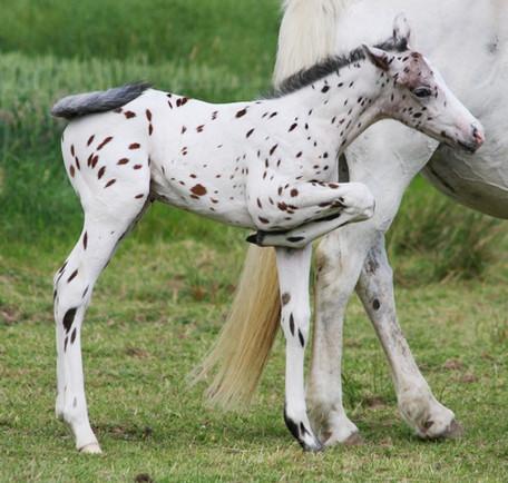 Appaloosa Horses- das gefleckte Pferd der Nez Perce Indianer