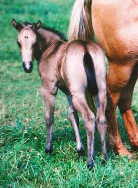 NFQHA- Foundation Quarter Horse Stutfohlen