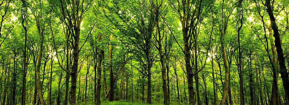 beautiful forest of healthy trees