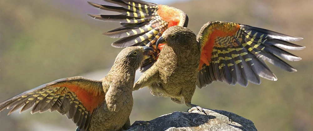 New Zealand Kea: Click here for the Kea Conservation Trust's website
