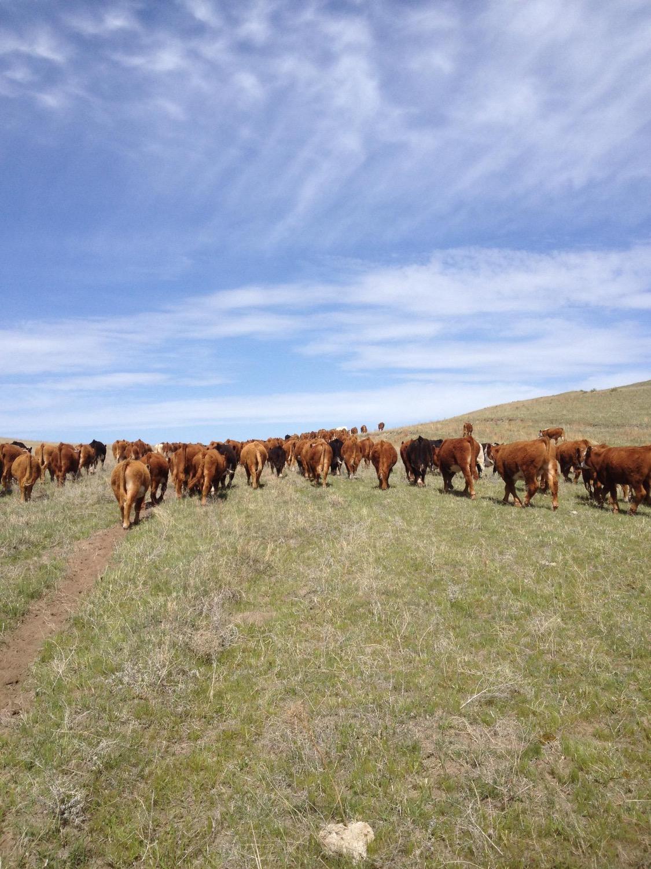 Trailing Hereford Steers