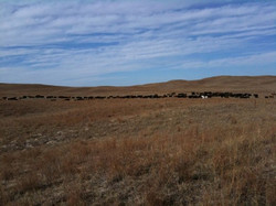 Moving more cows today