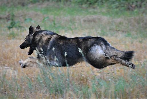 Nala la Taniere aux Loups