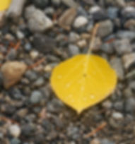 Photo of yellow Aspen leaf on pebbles, by Roger Wolsey