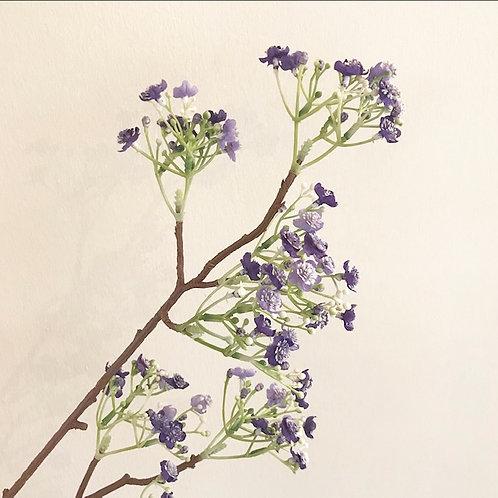 Gypsophilia Viette's Dwarf Purple