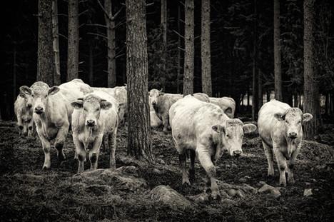 Lehmihaka - Kari Pietilä