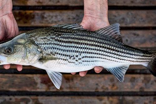 Striped Bass 縞スズキ