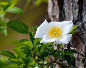 Cheroke Rose