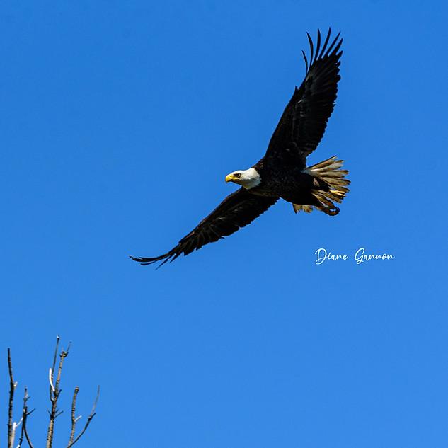 """Bald Eagle in Flight"""