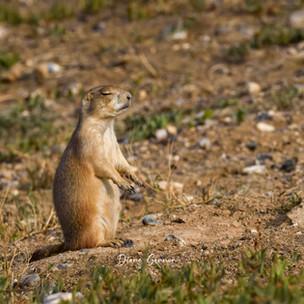 """"""" Meditating Prairie Dog"""""""