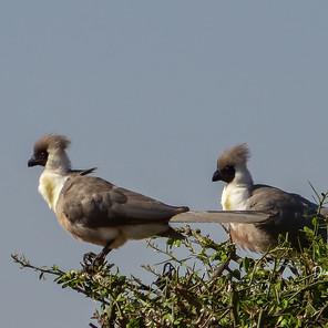 Bare-faced Go Away Birds