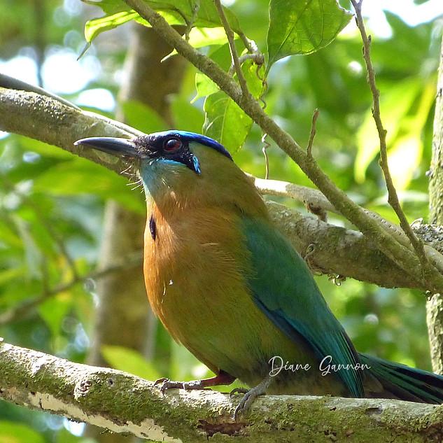 Blue-crowned Mot Mot