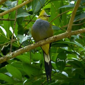 Long-tailed Slate Bird
