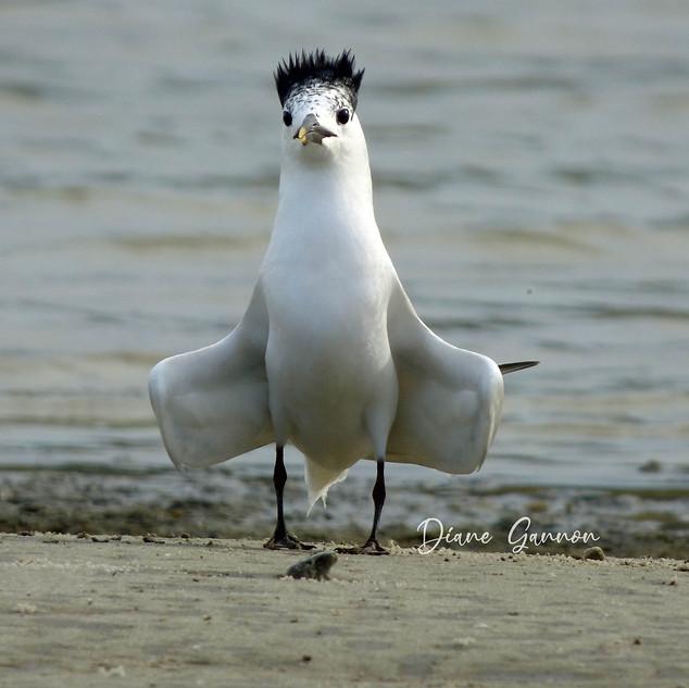Sandwich Tern showing off