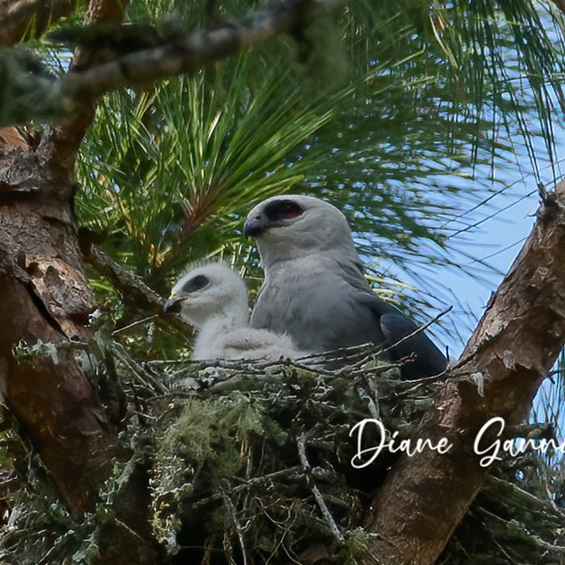 Mississippi Kite and Chick