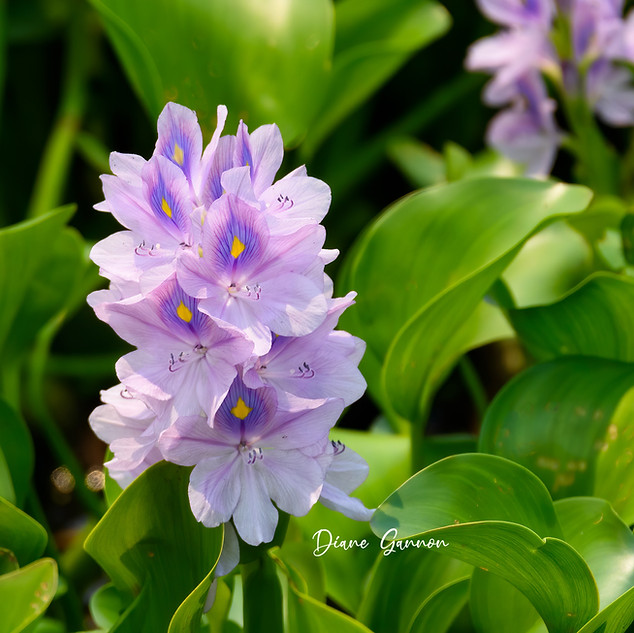 Brazilian Water Hyacinth