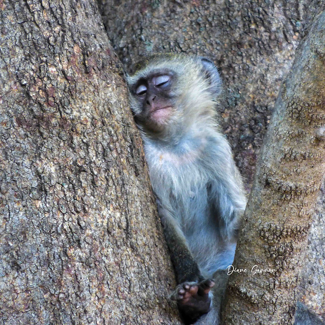 Sleeping Vervet Monkey