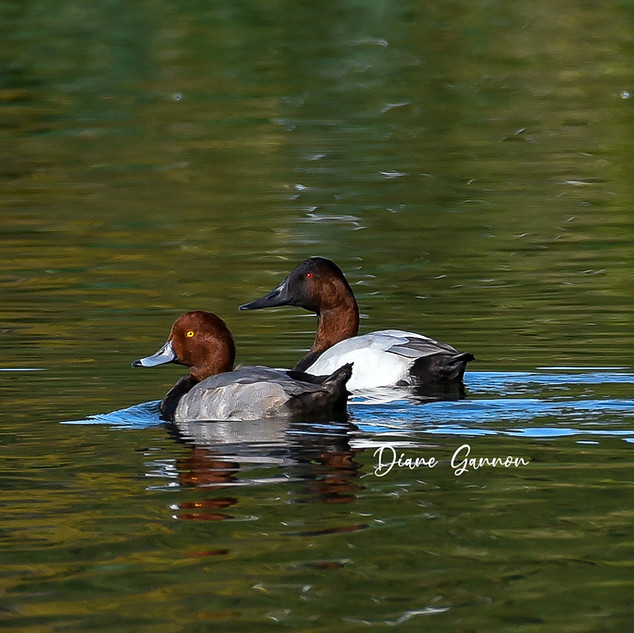 Redhead and Canvasback