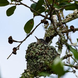 Nesting Blue-gray Gnatcatcher