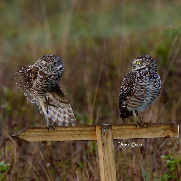 """""""Burrowing Owl Dance"""""""