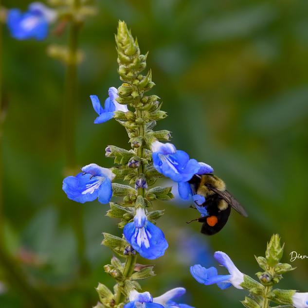 Nectaring on Salvia