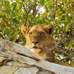 """""""Lion in the morning"""""""