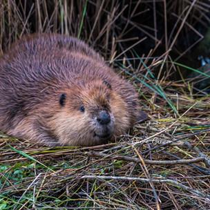 Oakridge Beaver