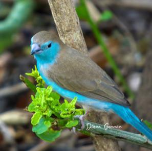 Southern Cordon-bleu