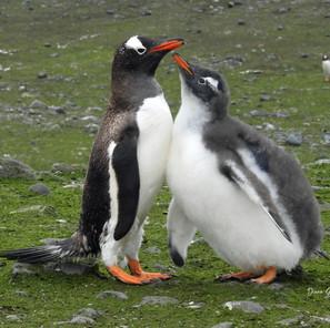 Mom and Chick Gentoo Penguins