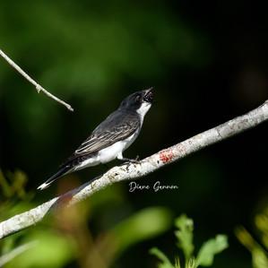 Eastern King Bird