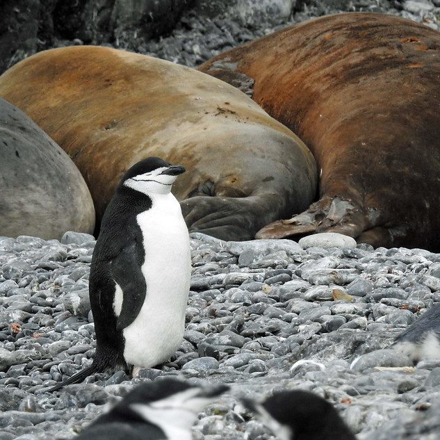 Chinstrap Penguin and Elephant Seals