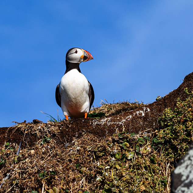 """""""Puffin Sentry"""""""