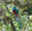 Resplendent Quetzal.jpg