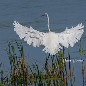 _Egret Ruffled Feathers_