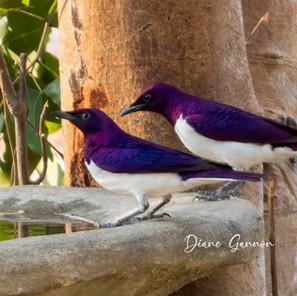 Plum Starlings